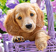 Puppy in Basket 1000 Bitar Castorland